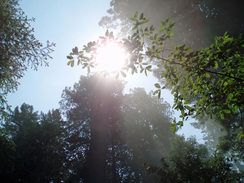 P6303157-SunsRaysTreetopsFogRedwoods-nice-2
