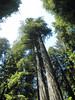 P7081191-RedwoodsTall-2