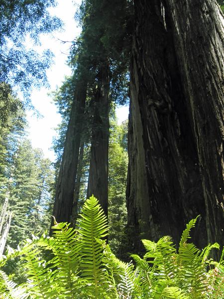P7081205-RedwoodsTall-2