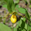 Wild Orchid - Lady Slipper