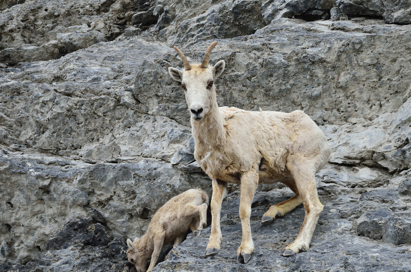 Female Big Horn Sheep with offspring.