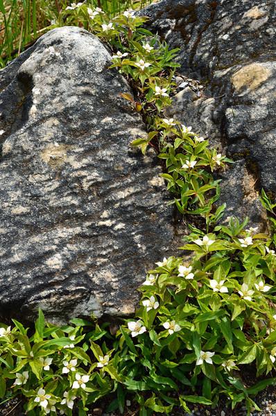 Blossoms among the stones - Marble Canyon - Kootenay National Park