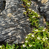Blossoms among the stones - Marble Canyon - Kootenay National Park