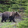 Grizzly bear on Columbia Icefields Parkway