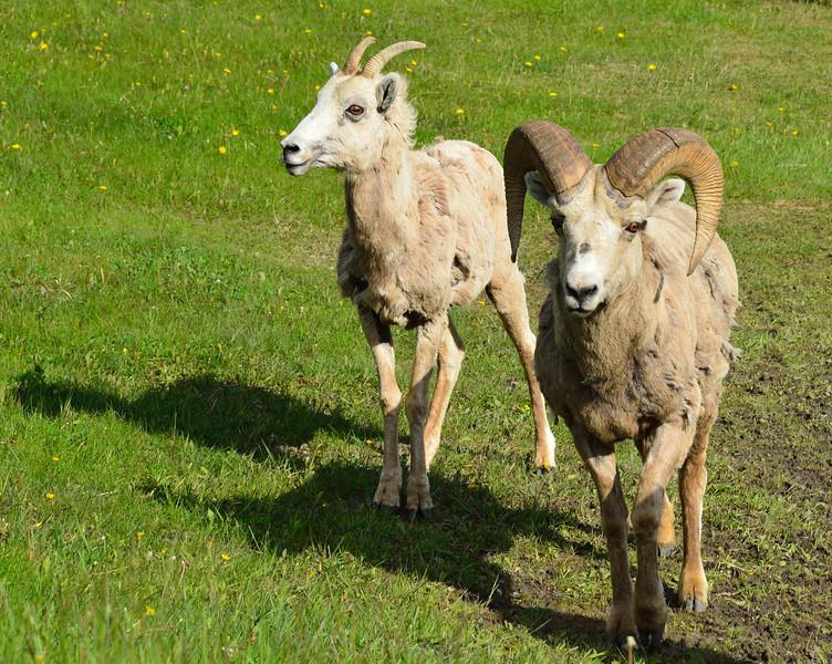 Male and female Big Horn Sheep.