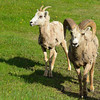 Male and female Big Horn Sheep.