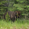 Grizzly bear eating dandelions.  I know you can't tell - it was pouring down rain.  Kootenay National Park.