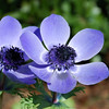 "Japanese Anemone ""Mr. Fokker"""