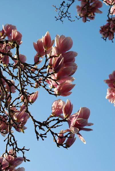 Tulip poplar.