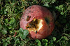 A rotten apple fallen from the tree does not go to waste.  The bees, ants, and flies are having a heyday.