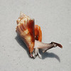 Florida Fighting Conch - Apparently we made it mad because it is coming out to attack/defend!