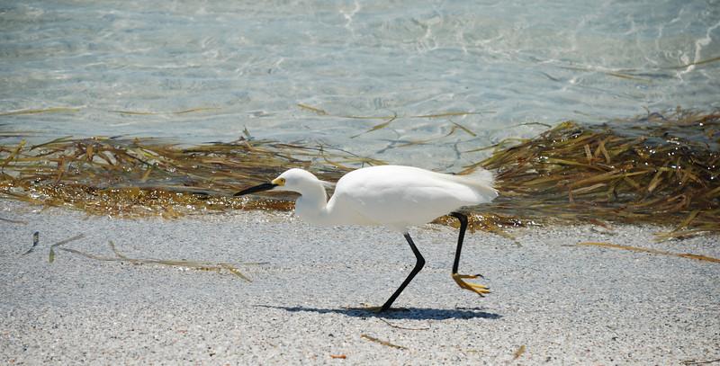 White Egret on patrol.