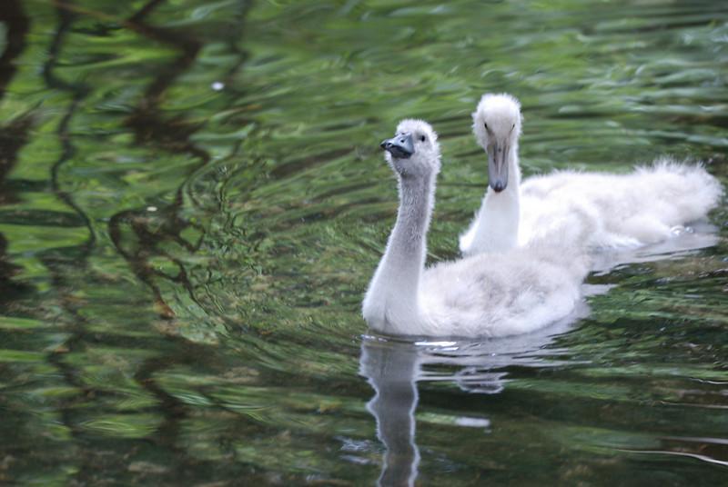 Baby Swans (Cygnets) - Homosassa Springs Wildlife State Park