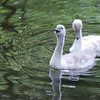 Baby Swans (Cygnets) - Homosassa Springs Wildlife State Park