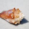 Seashell - Caladesi Island