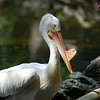 White Pelican - Homosassa Springs Wildlife State Park
