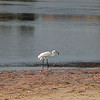 Egret with fish - Sunset Beach near Tarpon Springs