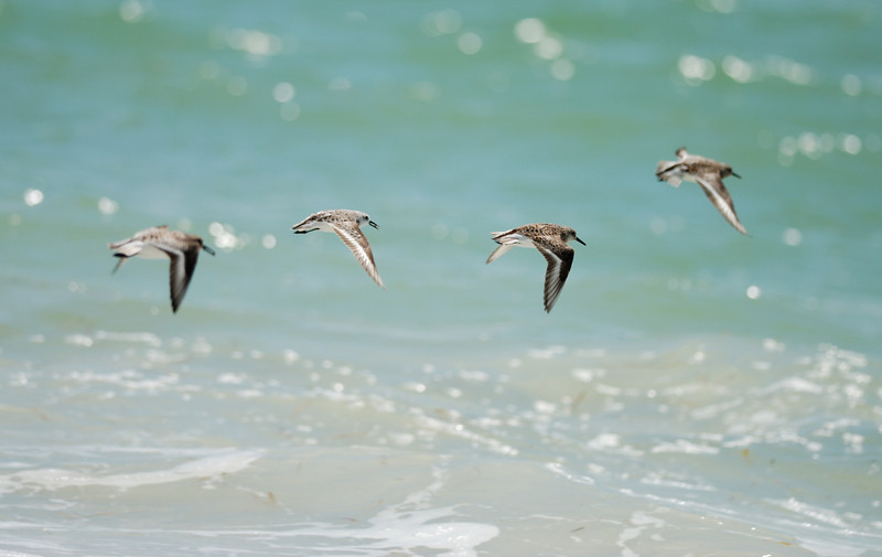 Birds on the Wing - Caladesi Island
