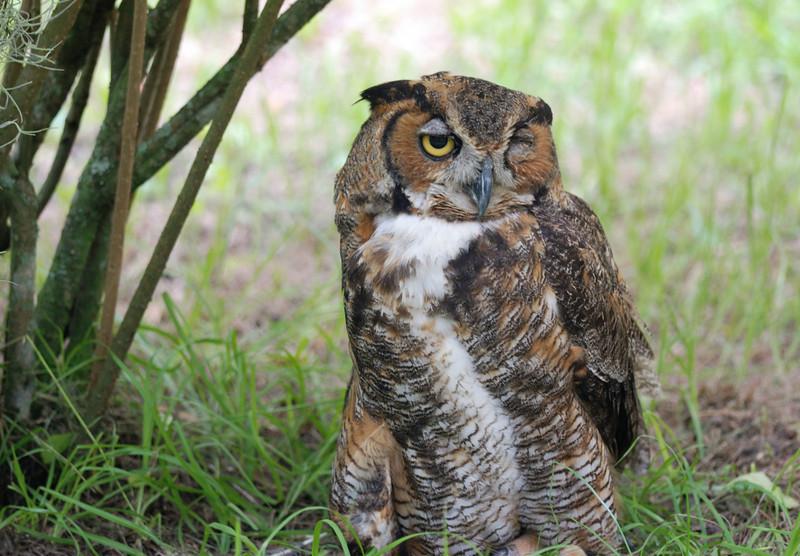 Great Horned Owl - Homosassa Springs Wildlife State Park