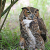 Great Horned Owl - Homosassa Springs Wildlife State Park