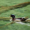 Wood Duck - Homosassa Springs Wildlife State Park