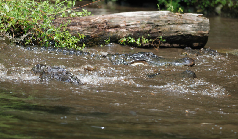 Alligators - Homosassa Springs Wildlife State Park