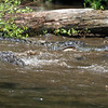 Alligators - Homosassa Springs Wildlife State Park