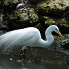 Egret - Homosassa Springs Wildlife State Park