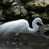 Egret - Homosassa Springs Wildlife State Park