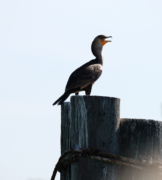 Double-Crested Cormorant - Caladesi Boat Dock