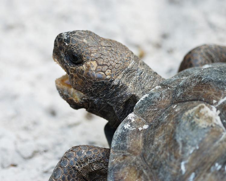 Gopher Tortoise - Homosassa Springs Wildlife State Park