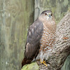Sharp-shinned Hawk - Homosassa Springs Wildlife State Park
