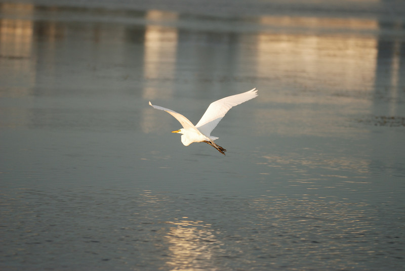 Egret - Sunset Beach near Tarpon Springs