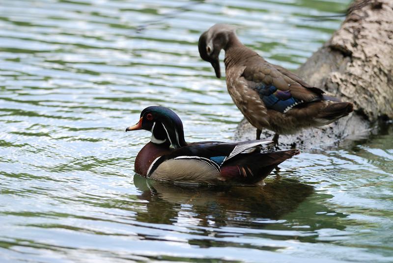 Wood Ducks - Homosassa Springs Wildlife State Park