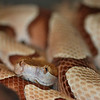 Southern Copperhead Snake - Homosassa Springs Wildlife State Park