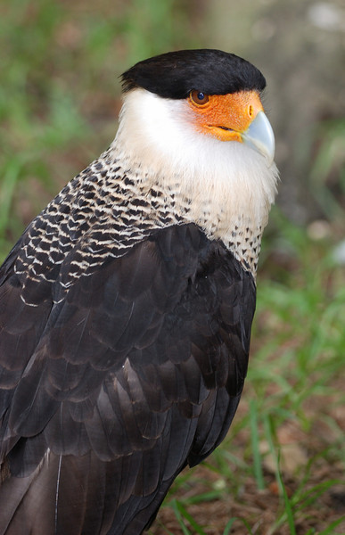 Crested Caracara Falcon - Homosassa Springs Wildlife State Park