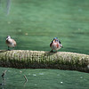Wood Ducks - Homosassa Springs Wildlife State Park