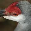 Sandhill Crane - Homosassa Springs Wildlife State Park