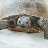 Gopher Tortoise - Caladesi Island