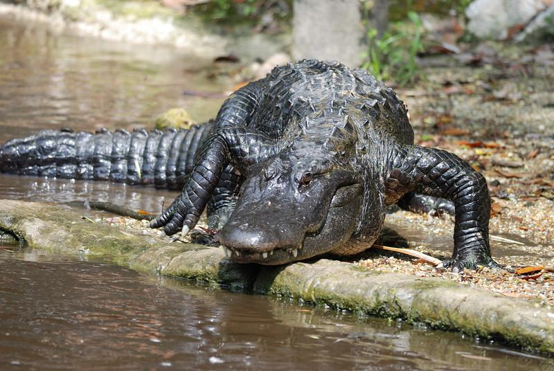 Alligator - Homosassa Springs Wildlife State Park