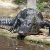 Alligator - Homosassa Springs Wildlife State Park