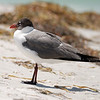 Laughing Gull - Caladesi Island