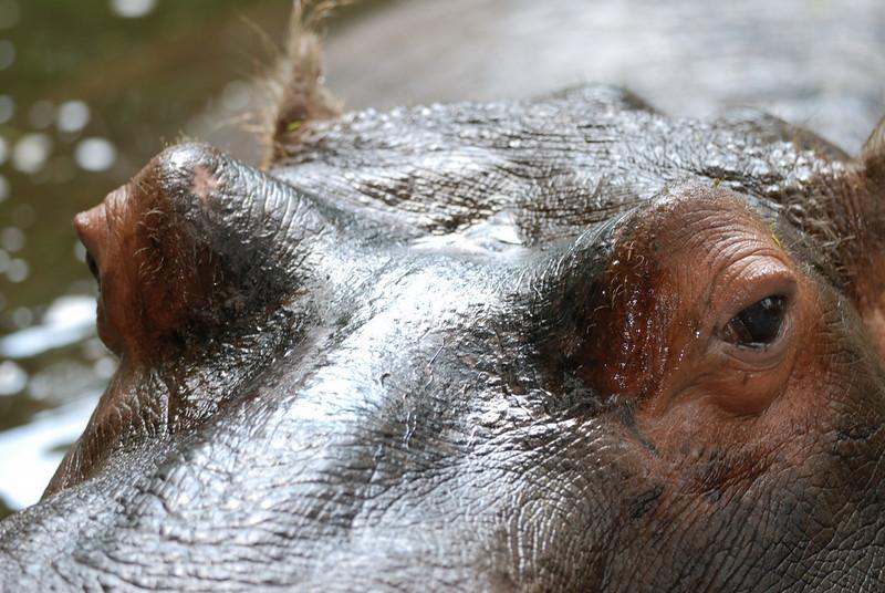 Lu the Hippo - Homosassa Springs Wildlife State Park