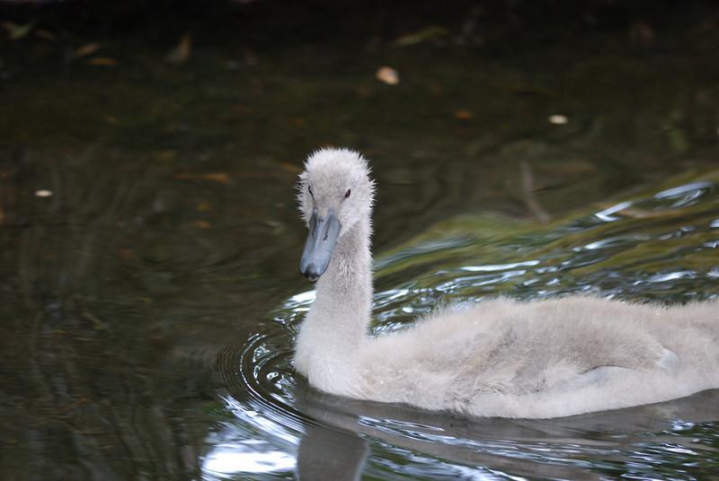 Baby Swan (Cygnet) - Homosassa Springs Wildlife State Park