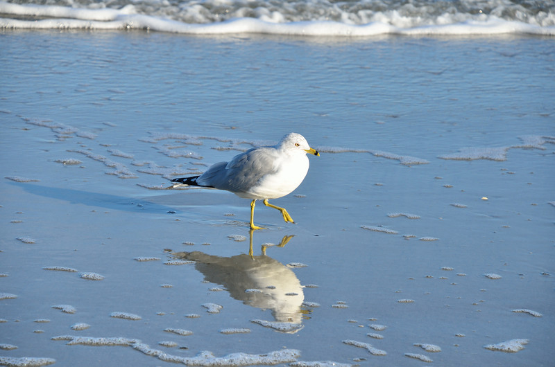 Seagull at Hunting Island State Park