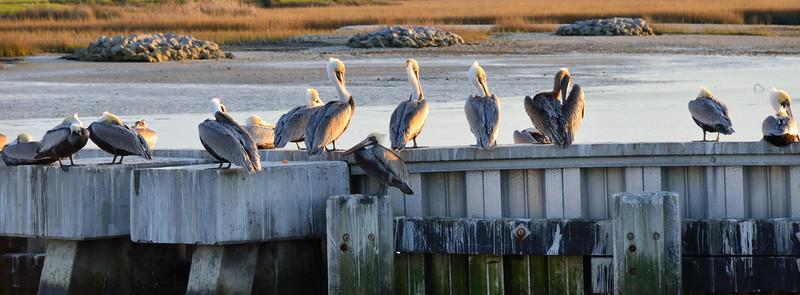 Pelicans on the dock.