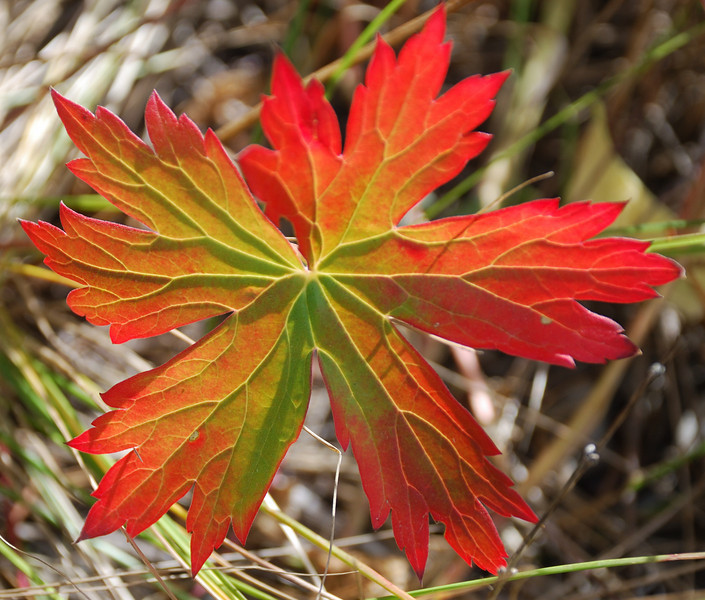 Leaf at Signal Mountain, Grand Teton NP.