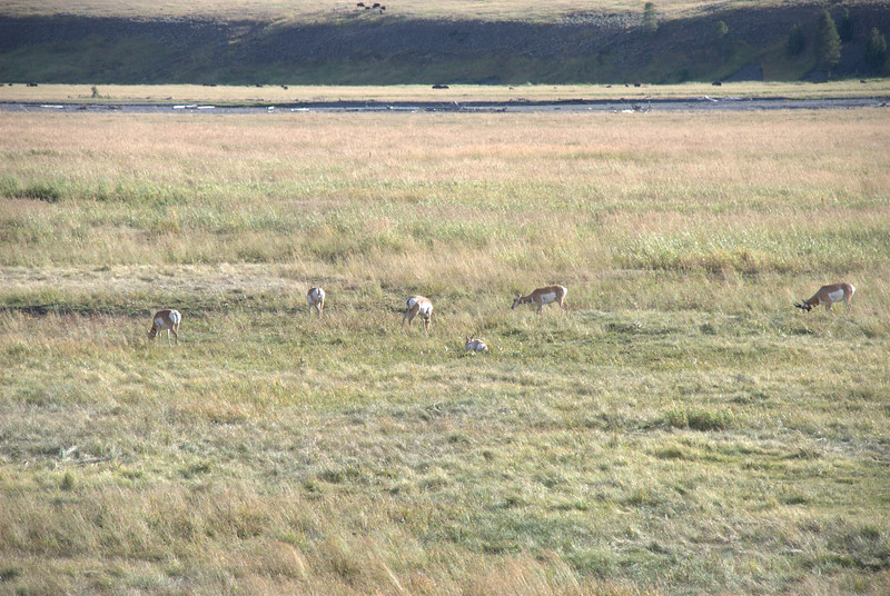 Antelope at Lamar Valley, Yellowstone