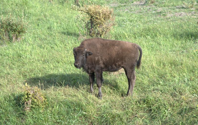 Baby Buffalo, Lamar Valley, Yellowstone