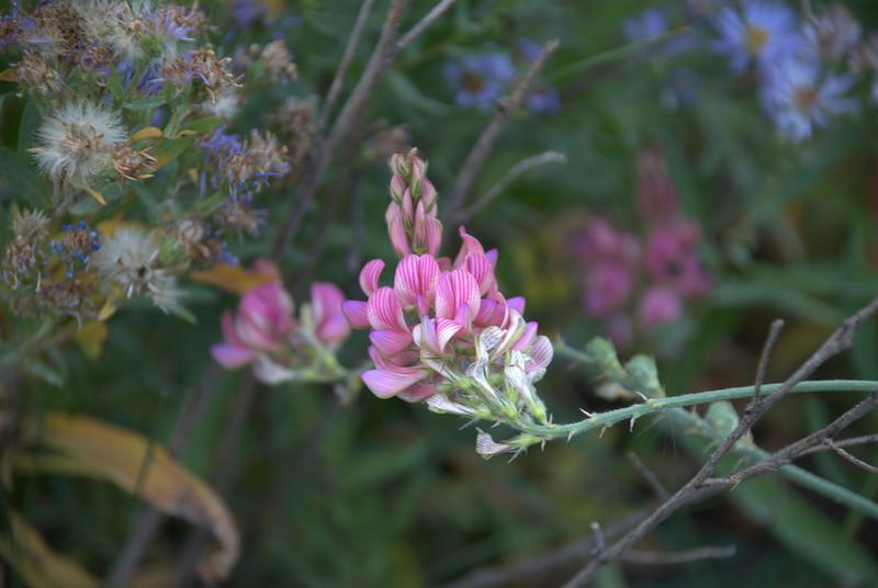 Wildflower at Signal Mountain, Grand Tetons